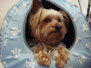 How to bathe a yorkie