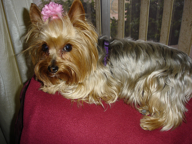 How to groom Yorkie at home
