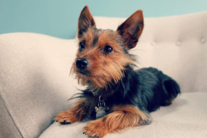 Yorkies - Harness or Collar
