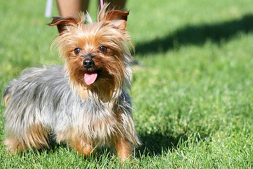 Yorkshire Terrier- Hypoallergic