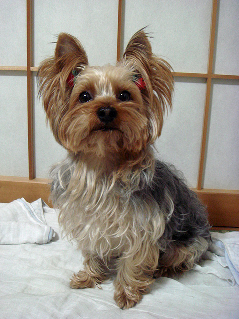 Yorkshire terrier- Are apples good for Yorkies