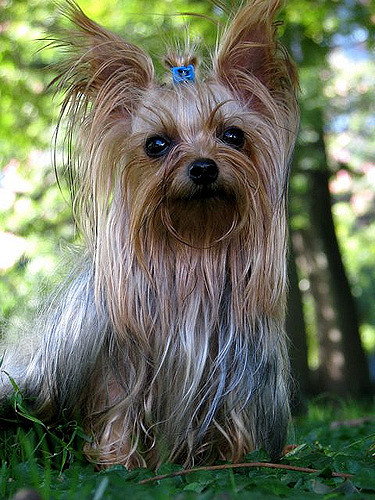 Yorkshire terrier- Skin Problems and cures