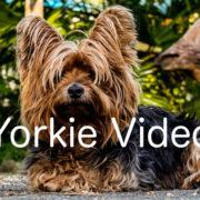 Yorkie Video Master