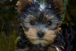 Yorkie travel benefits